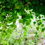 As branch of the vine touches the ground