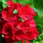 Geraniums have colours and shine