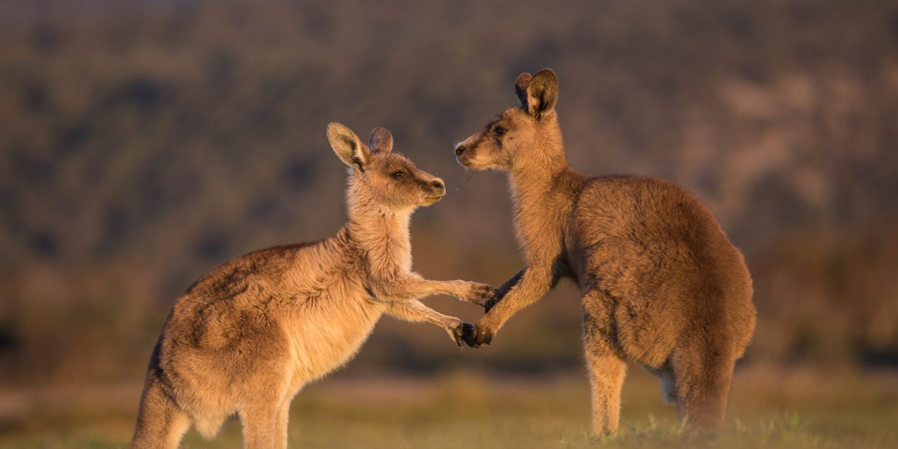The pair of kangaroos dressed in the lightest blue